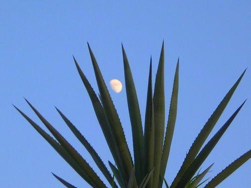 Agave moon